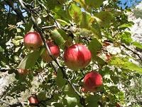 Яблоня Сиверса.