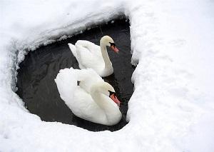 Лебедям нужна наша верность.