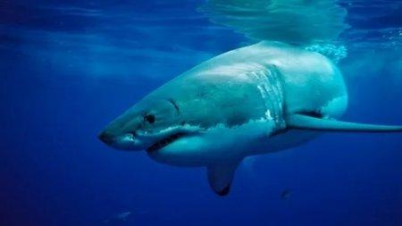 Большая белая акула в Красной книге.