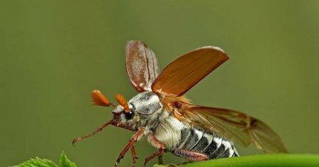 Майский жук.